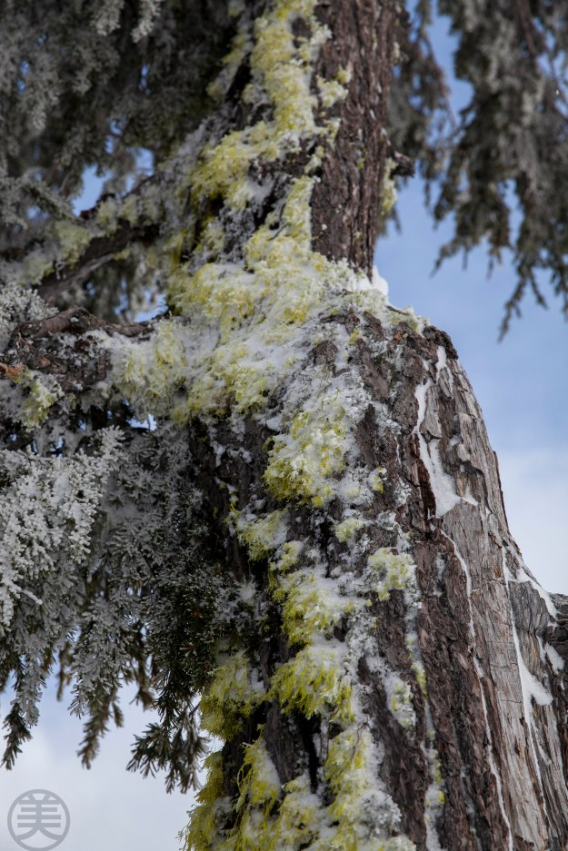 A tree by Crater Lake. The bark is pealed off by strong wind and snow? I want to get the vitality like this!
