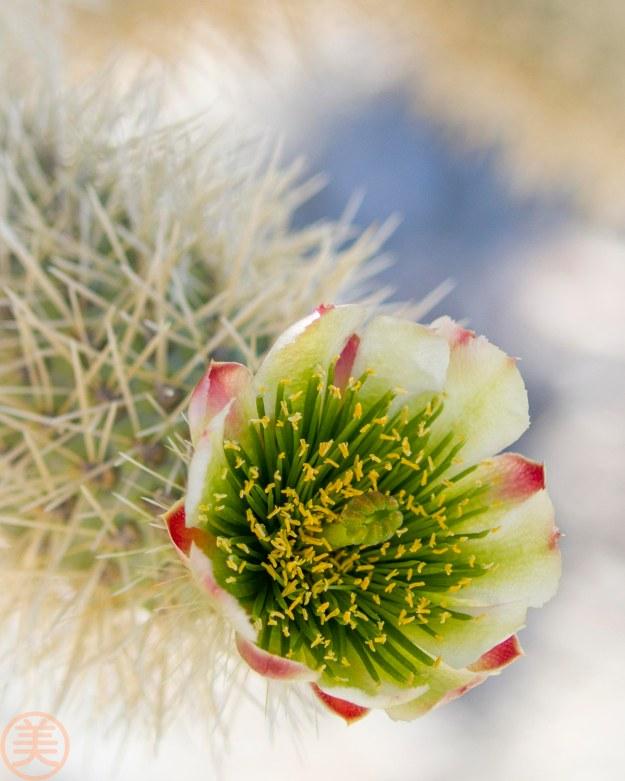 Cholla Cactus の花